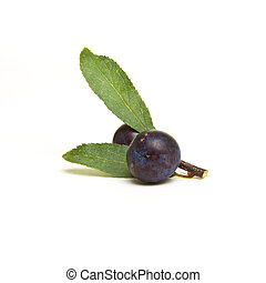 Wild Hedgerow Sloes from low perspective isolated against...