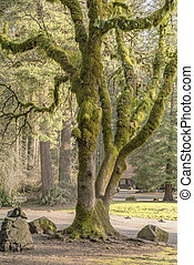 Moss covered tree Washington state parks.