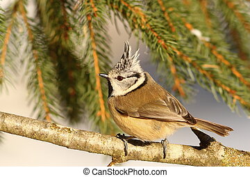 crested tit profile view perched on twig ( Lophophanes...