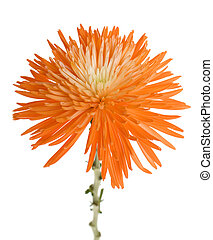Orange Spider Mum - Bright orange Chrysanthemum, often...