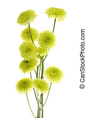 Ten Green Mini Button Pom Pom Flowers with stems isolated on...
