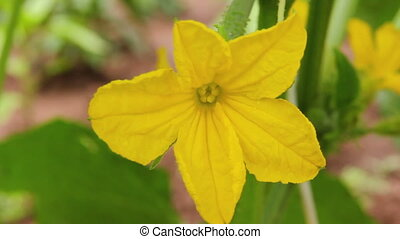 Cucumber Flower Close-up 2