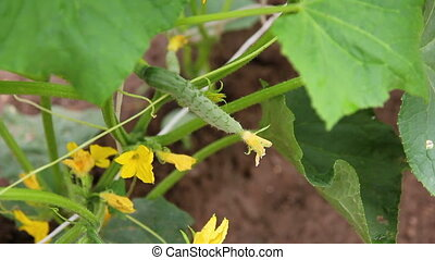 Cucumber Flower Close-up 5