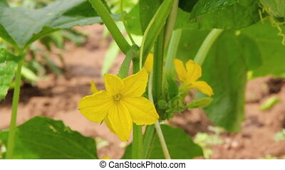 Cucumber Flower Close-up 3