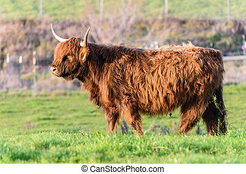 Mangy yak in a green field with horns - A yak looks...