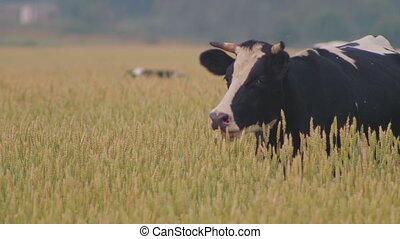 Cow eats grass on the meadow of wheat, middle shot
