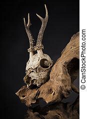Weathered deer skull, black mirror background - Deer skull,...