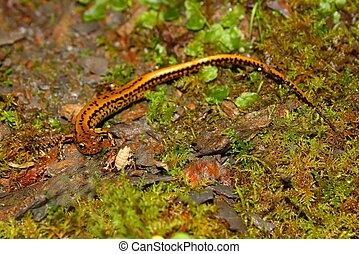 Long-tailed Salamander-Mississippi