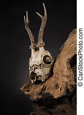 Weathered deer skull, black mirror background - Deer skull,...