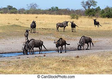 Gnu, wildebeest Africa safari wildlife and wilderness - wild...