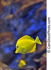 yellow tropical fish in water