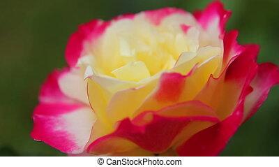 Rose close-up 10