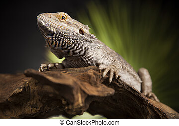 Agama bearded, pet on black background, reptile - Pet,...