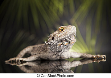 Animal Lizard, Bearded Dragon on mirror background - Agama...