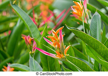 Colorful Heliconia psittacorum Sassy pink yellow red flowers...