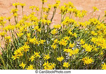 Yellow desert wildflowers in the wilds, Utah