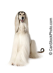 Afghan hound dog isolated on white background - White Afghan...
