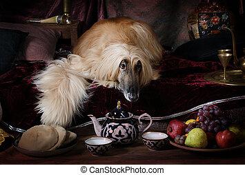 Thoroughbred Afghan hound dog - Afghan hound dog (four years...