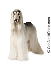 Afghan hound isolated on white background - Afghan hound dog...
