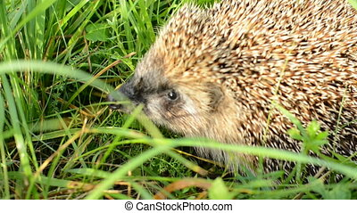 Hedgehog on green grass - Cuet Hedgehog on green grass...