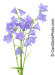beautiful blooming bouquet of bluebell flowers isolated on...