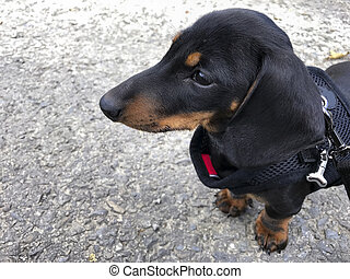 Miniature Smooth-haired Dachshund