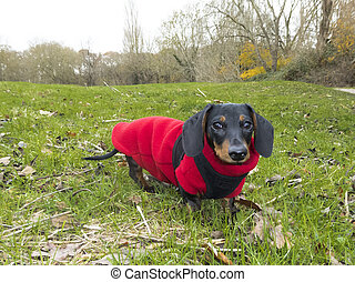 Miniature Smooth-haired Dachshund on grass