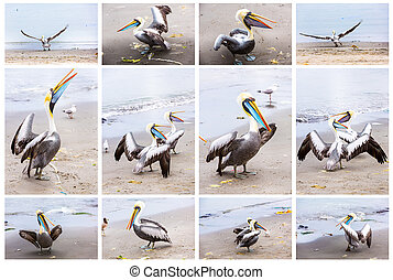 Collage of pelicans on Ballestas Islands,Peru South America in Paracas National park.Flora and fauna