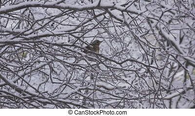 bird a thrush Turdus pilaris in the winter on a snow-covered...