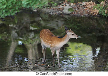 Wild deer in nara city Japan