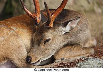 Wild deer in nara city Japan