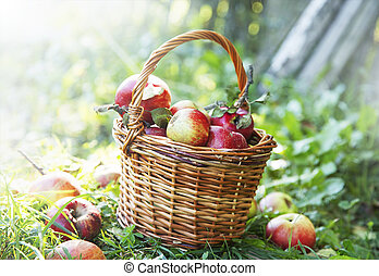 Fresh apples basket in the orchard
