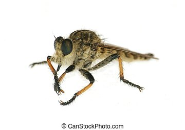 insect gad horse fly isolated in white