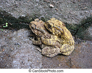 toad mating sex