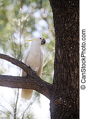 Sulphur-crested Cockatoo, a large white parrot native to...
