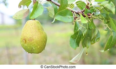 Ripe pear on tree in the orchard shaking on the hard wind....