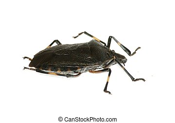 insect stink bug
