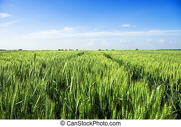 Wheat field in spring on a sunny day