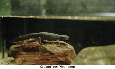 The red-bellied newt Taricha rivularis in special tank. -...
