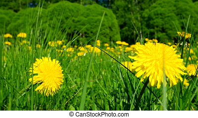 Timelapse clip. Field with yellow dandelions. Sunny summer...