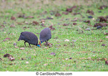 Guineafowl or Numida meleagris walking in savanna in African...