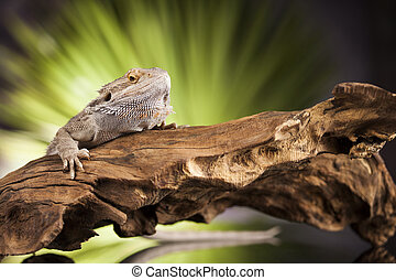 Lizard root, Bearded Dragon on black mirror background -...