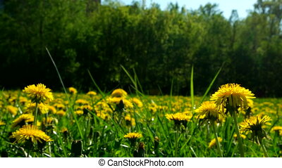 Timelapse clip. Field with yellow dandelions. Sunny summer day.