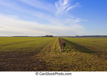 yorkshire wolds agriculture - young winter wheat with a...