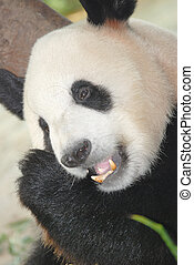 giant panda bear eat bamboo