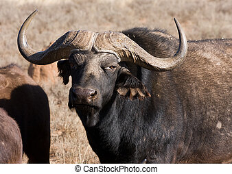 cape buffalo bull - closeup cape buffalo bull