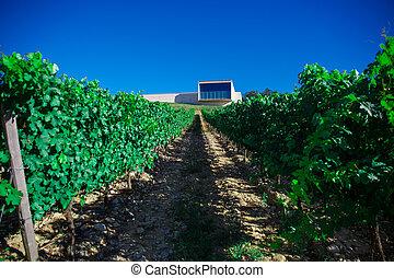 Rows of vines in the field in Spain