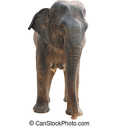 animal elephant isolated in white