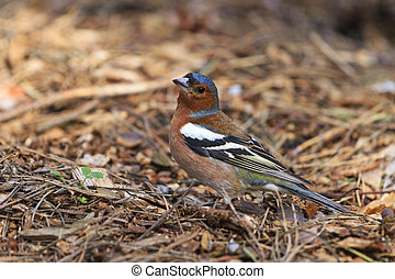 Finch among the first spring sprouts,forest bird, spring,...