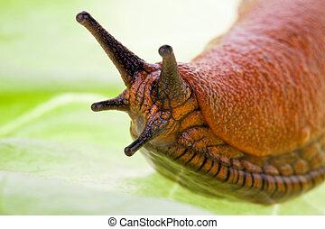 Slug on lettuce leaf - A slug crawls on a leaf of lettuce